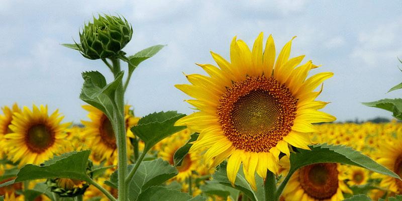 Sunflower Photo by Ken Slade